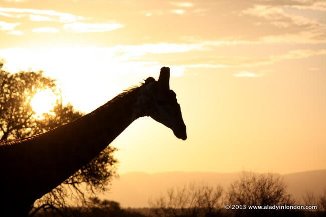 Giraffe in Kruger National Park in South Africa