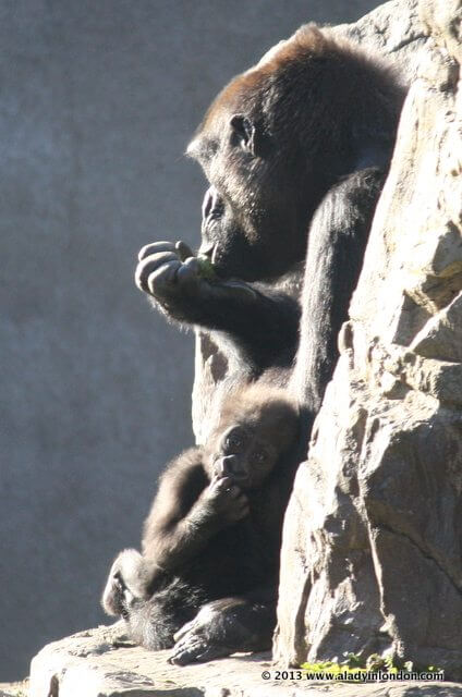New Baby Gorilla at the San Francisco Zoo