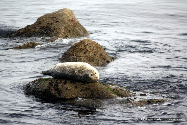 Seal in Monterey Bay, California