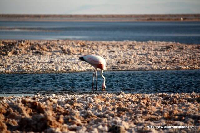 Flamingo in the Atacama Desert