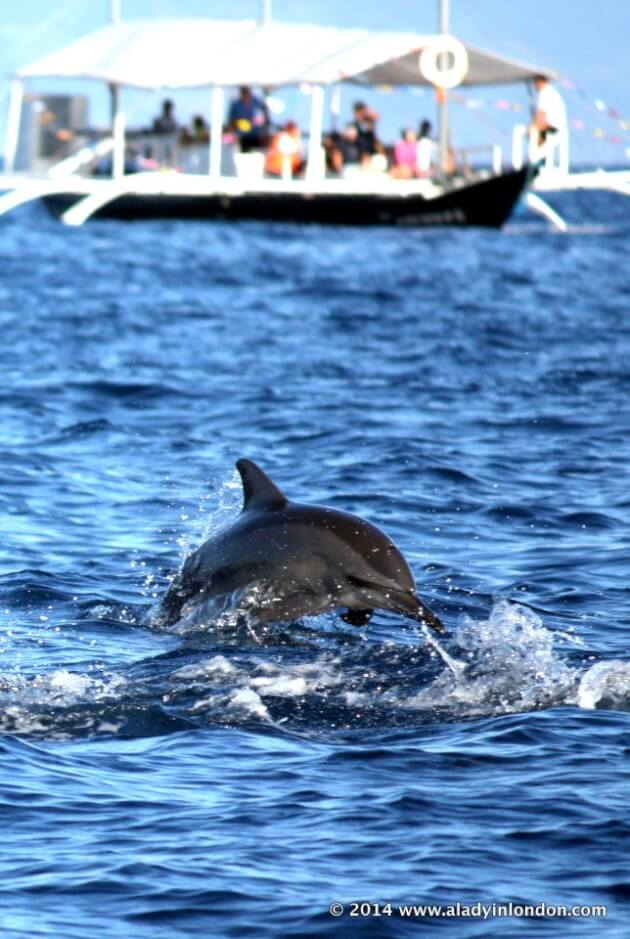 Dolphin in the Philippines