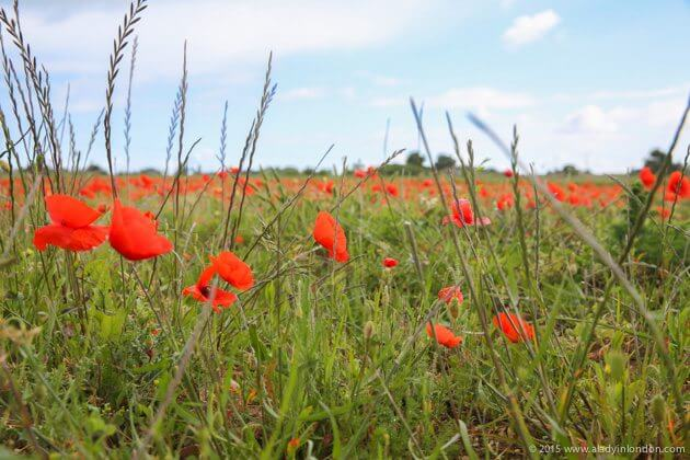 Poppies on the Ile de Re, France