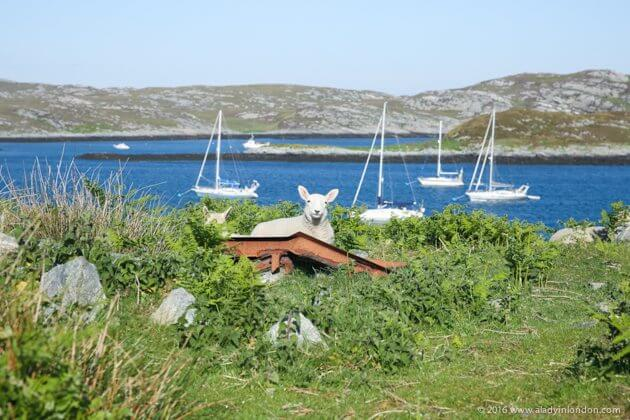 Sheep on Coll, Scottish Hebrides