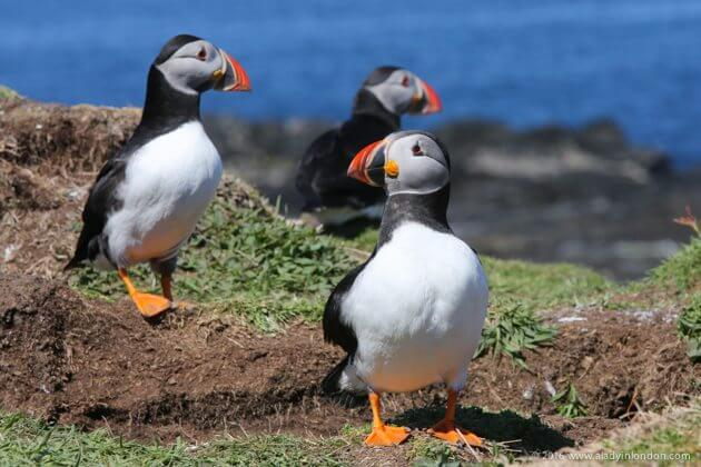 Puffins on Lunga, Scotland