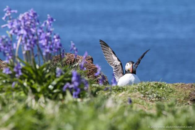 Puffin on Lunga, Scotland