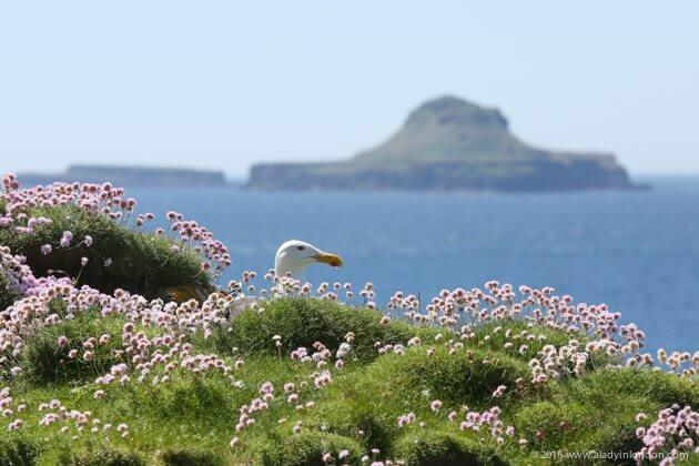 Seagull on Lunga, Scotland