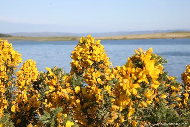 Gorse on the Isle of Mull, Scotland