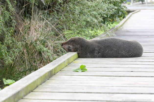 Seal, Kaikoura, New Zealand