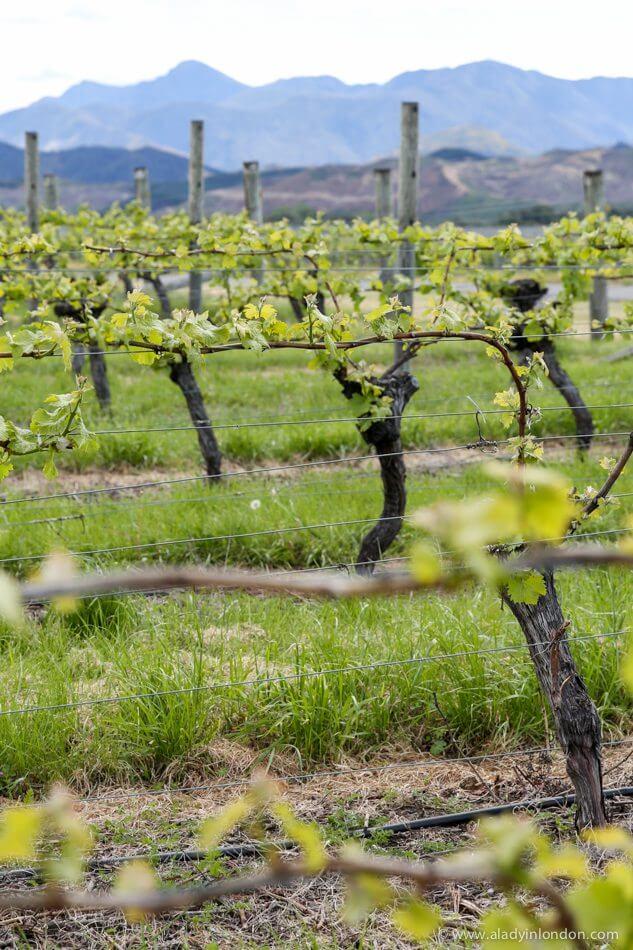 Vineyards, Blenheim, New Zealand