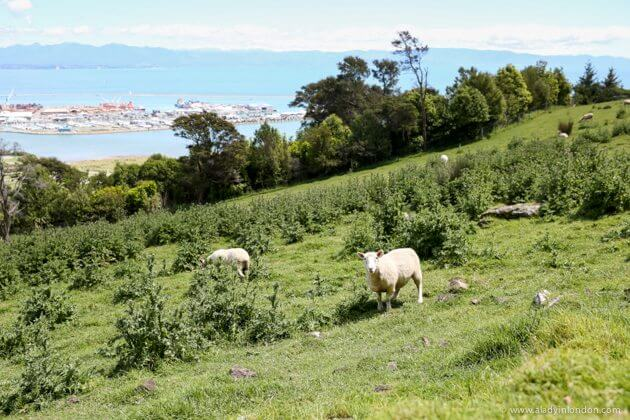 Sheep in Nelson, New Zealand
