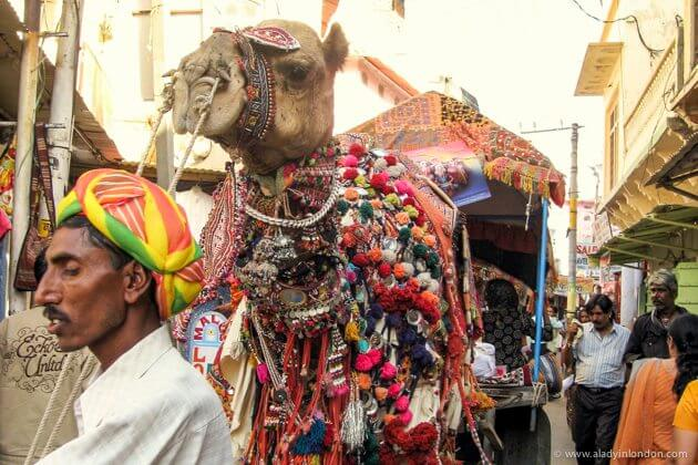 Camel in Pushkar