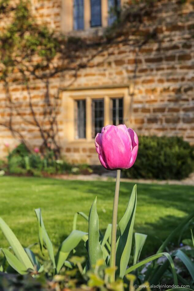 Spring Tulip in the Cotswolds