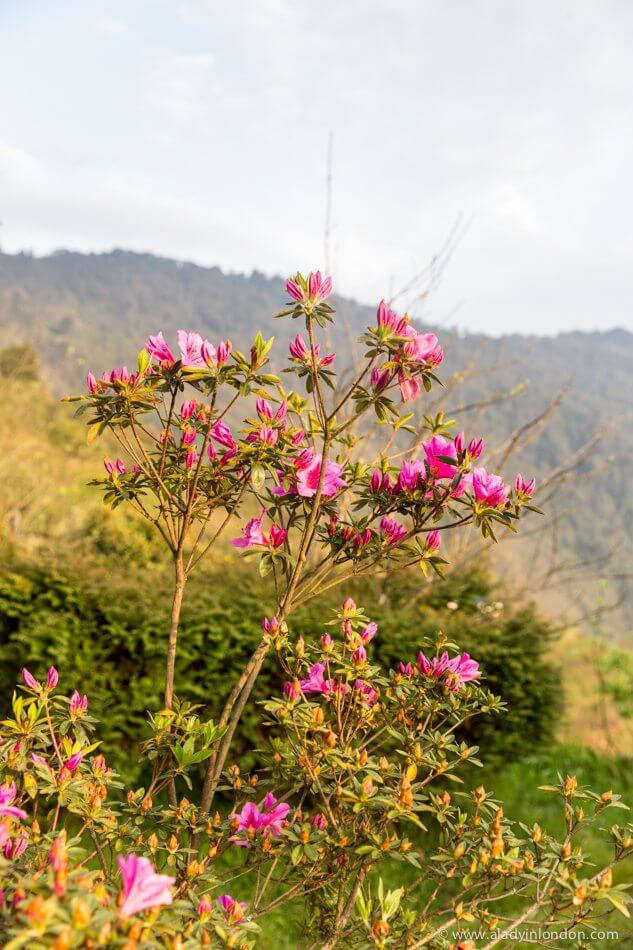 Rhododendrons in Nepal
