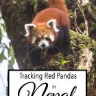 Tracking Red Pandas in Nepal