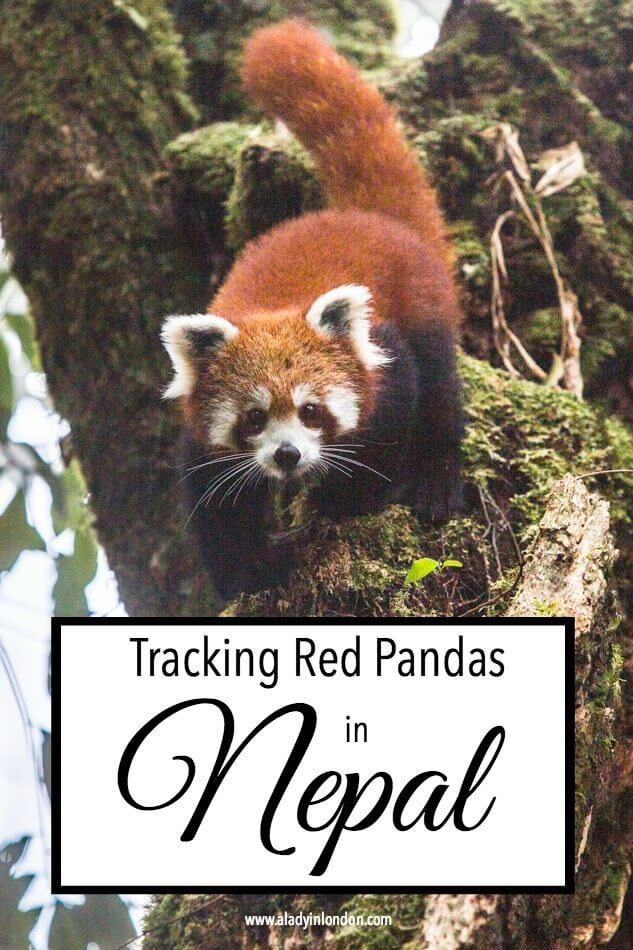 Tracking Red Pandas in Nepal