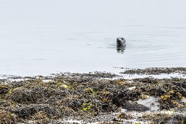Seal in the Hebrides
