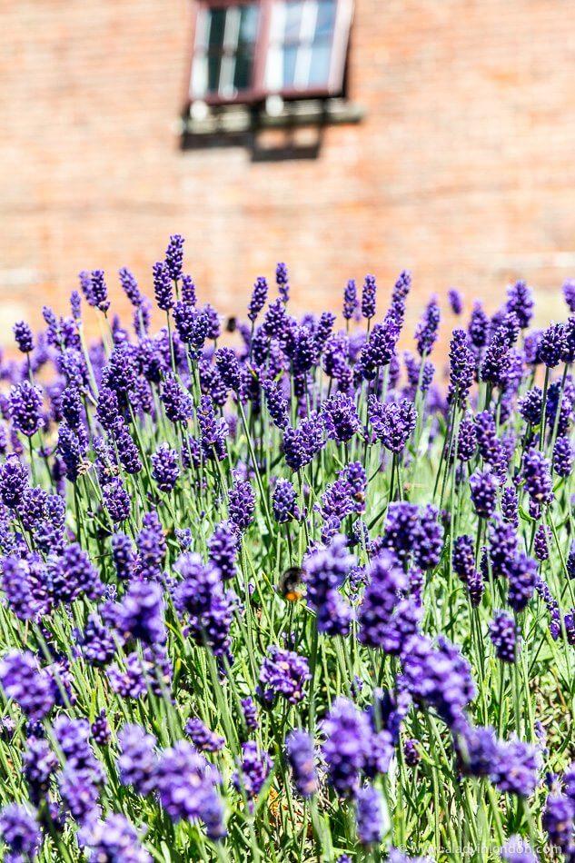 Hartley Park Farm Lavender Fields