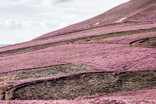 Heather on a Moor in Scotland